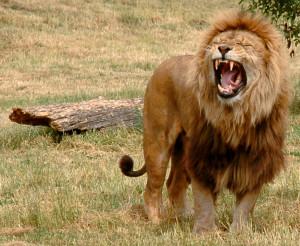 What Eats Lions? Photo:Robek