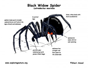 Black Widows facts 10 Interesting Black Widows Facts