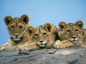 1600x1200 Lion cubs desktop PC and Mac wallpaper