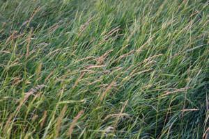 Saskatchwan prairie grass on the skyline at sunset.