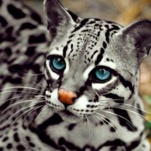 beautiful blue eyed cat