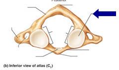 Atlas Superior Articular Facet