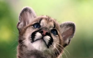 cute cougar baby wallpapers