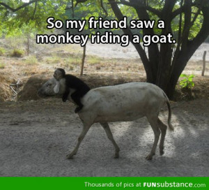 awesome, funny, goat, humor, lol, monkey, photo, quotes, riding ...
