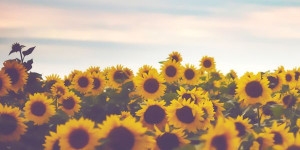 Sunflower Twitter Header