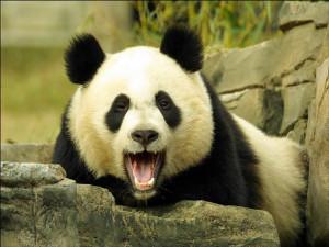 Panda Wallpaper 2 : size 1 024 x 768