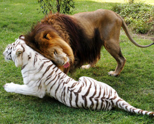 funny cute lion tiger in love funny cute lion tiger in love