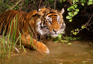 Critically Endangered Tiger Wades, Blissfully Unaware Of The Plight ...