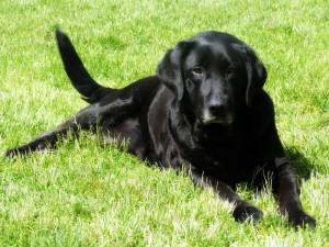 Black Labrador Bloodlessqueen Deviantart