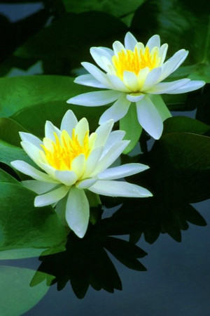 water lilies. 2013 will be the snake water's year on lunar calendar ...
