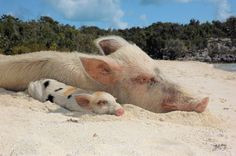 ... the beach more hppi pgs piglets lovers animal pigs precious pigs pigs