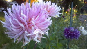 Dahlia Varieties database : Hollyhill Cotton Candy