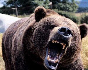 Angry Black Bear Photo