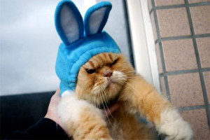 angry cat in rabbit costume angry cat in rabbit costume
