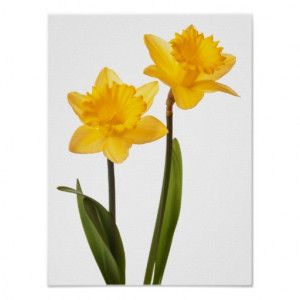 yellow_daffodils_on_white_daffodil_flower_blank_poster ...