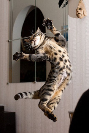 ... Jazz Hands, Bengal Cat, Dinner Time, Kitty Kat, Cat Enjoy, Crazy Cat