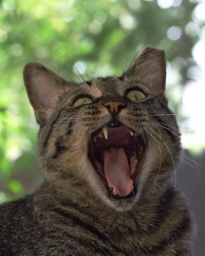 Cat Yawn: I