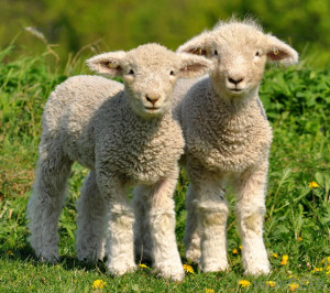 Lambs Cute Day