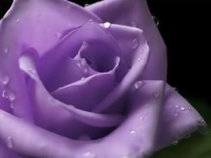 Purple Roses - purple Photo