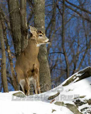 white tailed deer buck in snow