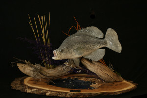 Taxidermy Fish Mounts. Td Jakes Life Class Quotes. View Original ...