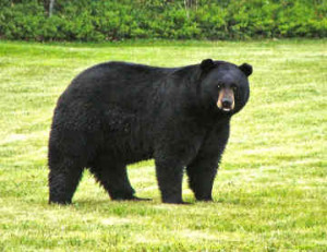 or asiatic black bear american black bear table 1 population body mass ...