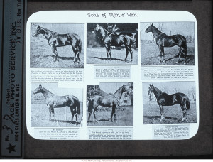 Sons of Man O' War,& about Horse Genetics