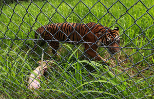 The tiger, the pig and the cage