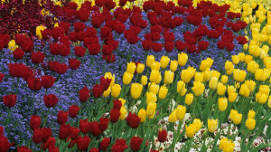 Download Tulips and pansies 1920x1080 Wallpaper