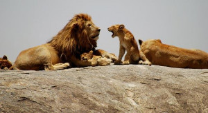 some intresting facts about lions lion is one of the four big cats it ...