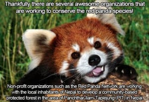 ... OC that's important to me, my passion for red pandas!!!! - Imgur