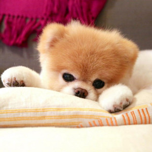 animal, boo, cute, dogs, love, pomeranian, sweet, buddy and boo ...