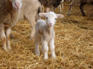 Two Adorable Young Baby Lambs