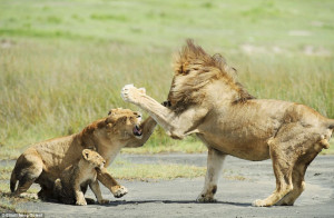 ... The lioness gets her punch in first when the lion moved in on the cub