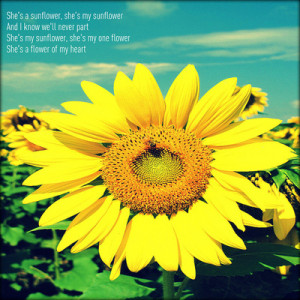 She's a Sunflower ~ Flowers Quote