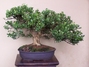 Re: The Old Oak Style – A possibility for Bonsai??