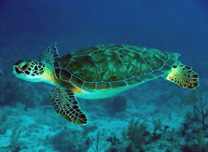 Download Green Sea Turtle Full Size