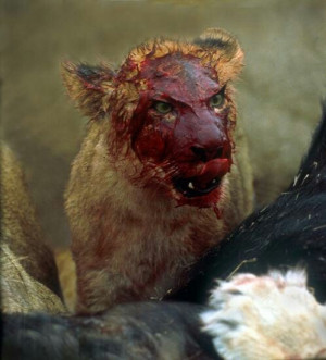Bloody lion.... Crazy lookin