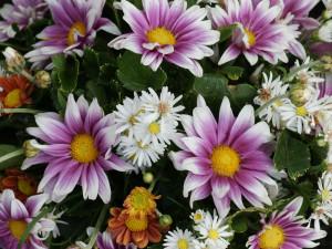 ... daisy flower daisy flower daisy flower daisy flower quotes daisy