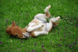 animal, baby animal, baby pony, cute, foal, fohlen, horse, pony