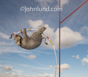 Funny picture of an elephant pole vaulting in front of a large ...