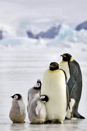 Emperor Penguins @Earth_pics