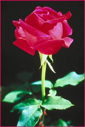Short Love Quotes: picture of a red rose with stalk on a black ...