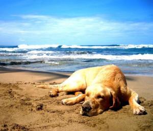 golden-retriever-chilling-at-the-beach.jpg