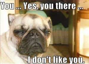 Funny photos funny pug dog face squinting eyes