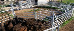 cattle yard jpg