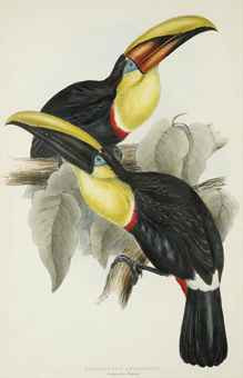 Swainson's Toucan; and Lemon-Rumped Toucan