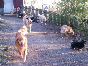 old friends senior dog sanctuary a place for senior dogs to live out ...