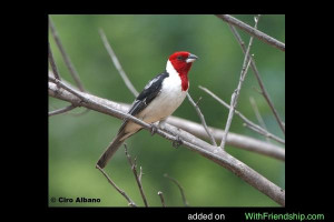 quotes about red cardinals
