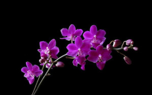 Purple Orchid Flower Pictures